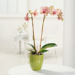 Phalaenopsis Orchid from Roses and More Florist in Dallas, TX