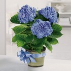 Heavenly Hydrangea from Roses and More Florist in Dallas, TX