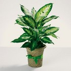 Delightful Dieffenbachia from Roses and More Florist in Dallas, TX